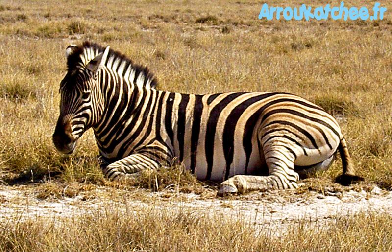 Zebra etosha park